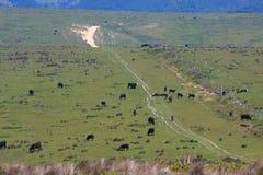 Mucche in un pascolo Fotografie Stock Libere da Diritti