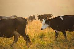 Mucche in un pascolo nelle montagne appena prima il tramonto Immagini Stock
