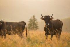 Mucche in un pascolo nelle montagne appena prima il tramonto Fotografie Stock Libere da Diritti
