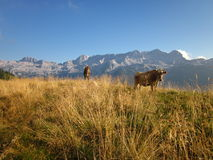 Mucche in un prato della montagna Fotografia Stock Libera da Diritti