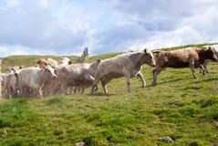 Mucche in un prato verde Fotografia Stock