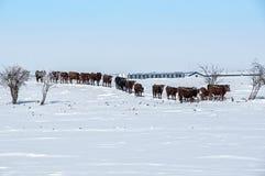 Mucche in una fila fotografie stock libere da diritti