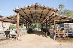 Mucche in una stalla Immagine Stock Libera da Diritti