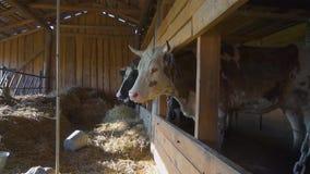 Mucche in una stalla un giorno di estate archivi video