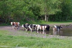 Mucche in uno stagno immagini stock libere da diritti