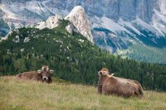 Mucche - vacas Fotografia de Stock Royalty Free