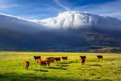 Mucche in valle di Ayala fotografia stock libera da diritti