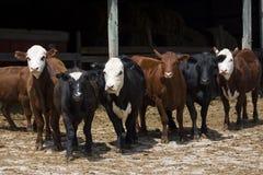 Mucche variopinte Fotografia Stock Libera da Diritti