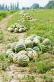 Mucchi delle angurie mature sulla piantagione del melone Immagine Stock
