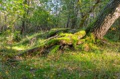 Mucchi di muschio sulla terra e sulla base degli alberi nella foresta polacca Immagini Stock Libere da Diritti