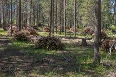 Mucchi di taglio, foresta nazionale di Tahoe fotografia stock libera da diritti