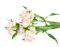 Mucchio dei fiori di alstroemeria Fotografie Stock