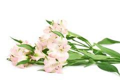 Mucchio dei fiori di alstroemeria Immagini Stock