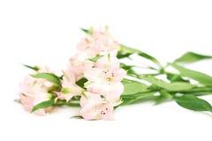 Mucchio dei fiori di alstroemeria Fotografia Stock