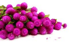 Mucchio dei fiori porpora del bottone dell'amaranto/celibe di globo immagine stock