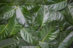 Mucchio dei fogli Foglie verde scuro della nangka per testo Immagini Stock