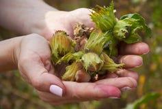 Mucchio dei huzelnuts in mani della donna Fotografia Stock