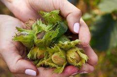 Mucchio dei huzelnuts in mani della donna Immagini Stock Libere da Diritti