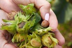 Mucchio dei huzelnuts in mani della donna Fotografia Stock Libera da Diritti