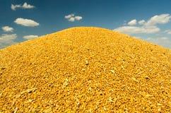 Mucchio dei semi del grano durante il raccolto contro cielo blu di estate Immagini Stock Libere da Diritti
