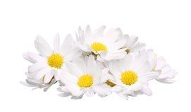 Mucchio del fiore della camomilla isolato su fondo bianco Fotografie Stock Libere da Diritti