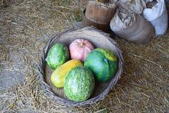 Mucchio del questionario lungo delle zucche sulla terra Zucche del raccolto dal giardino Fotografia Stock Libera da Diritti