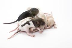 Mucchio del ratto Fotografia Stock Libera da Diritti