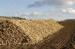 Mucchio del sugarbeet Fotografia Stock Libera da Diritti