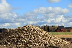 Mucchio del sugarbeet raccolto Fotografie Stock Libere da Diritti