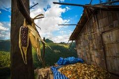 Mucchio dell'essiccazione del cereale alla capanna locale Immagine Stock Libera da Diritti