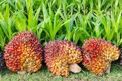 Mucchio dell'olio di palma Fotografia Stock