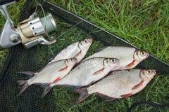 Mucchio dell'orata bianca o del pesce d'argento e dell'orata dell'bianco-occhio su Th Immagini Stock Libere da Diritti