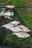 Mucchio dell'orata bianca o del pesce d'argento e dell'orata dell'bianco-occhio su Th Fotografie Stock