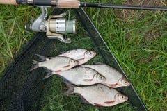 Mucchio dell'orata bianca o del pesce d'argento e dell'orata dell'bianco-occhio su Th Immagini Stock