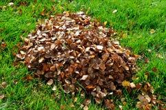 Mucchio della foglia della betulla in autunno Fotografia Stock