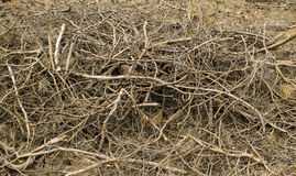 Mucchio della legna da ardere dei rami in abetaia Immagine Stock
