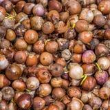 Mucchio delle cipolle della lampadina (allium cepa L ) per la vendita al dettaglio Fotografia Stock Libera da Diritti