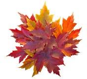 Mucchio delle foglie di acero di caduta isolato Fotografia Stock