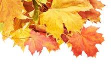 Mucchio delle foglie di acero variopinte isolate Immagine Stock Libera da Diritti
