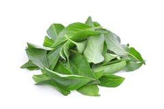 Mucchio delle foglie tailandesi del basilico isolate su bianco Immagini Stock