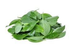 Mucchio delle foglie tailandesi del basilico isolate su bianco Fotografia Stock
