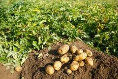 Mucchio delle patate di recente scavate su un campo Immagine Stock Libera da Diritti