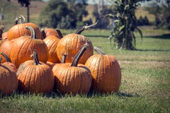 Mucchio delle zucche di recente selezionate di ottobre Fotografia Stock