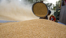 Mucchio di grano & del grano di raccolta Fotografie Stock