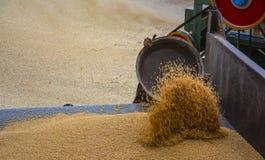 Mucchio di grano & del grano di raccolta Fotografia Stock