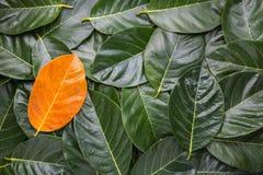 Mucchio di permesso dell'albero Permesso giallo differente sulle foglie verde scuro Fotografie Stock Libere da Diritti