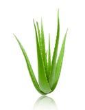 Mucchio di pianta verde di vera dell'aloe su bianco Fotografia Stock