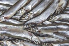 Mucchio di piccola mormora dei pesci di mare immagini stock libere da diritti