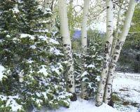 Mucchio di tremito Aspen fotografia stock libera da diritti