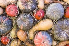 Mucchio di varie zucche al festival del raccolto di ringraziamento fondo, verdure immagini stock libere da diritti